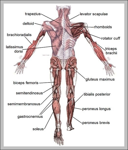 Male muscle chart | Graph Diagram