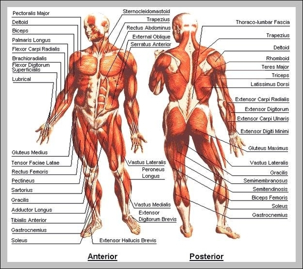Map of body muscles | Graph Diagram