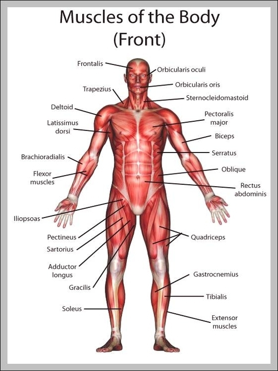 Muscle diagram labeled | Graph Diagram