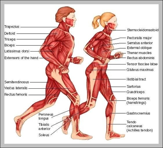 Muscle Names In The Human Body Graph Diagram