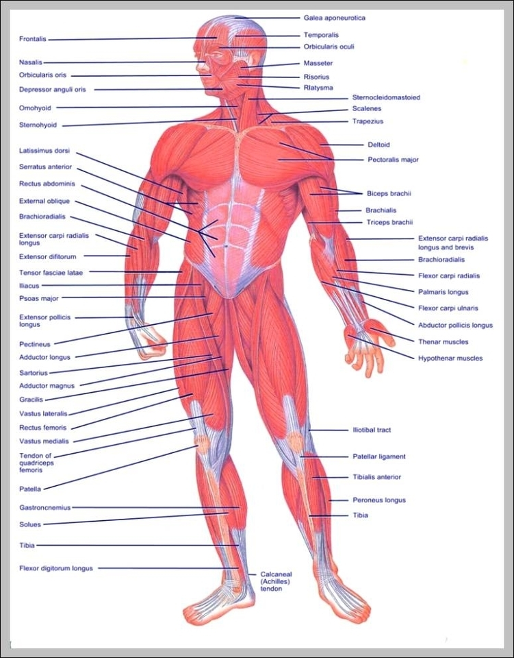 Muscle of the body diagrams 744×991 | Graph Diagram
