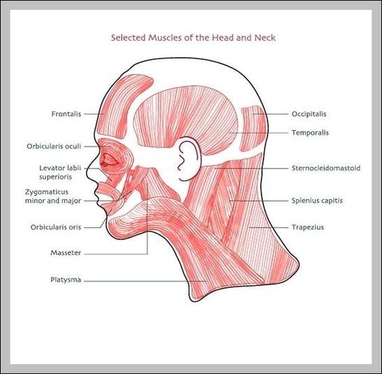 Diagram Of Face And Neck Muscles Image collections - How ...