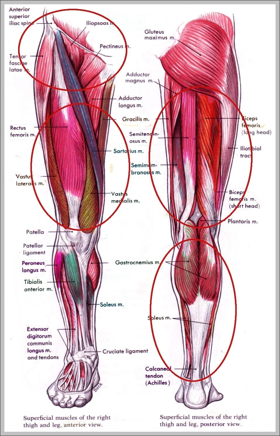 Muscles In Hip Area Graph Diagram