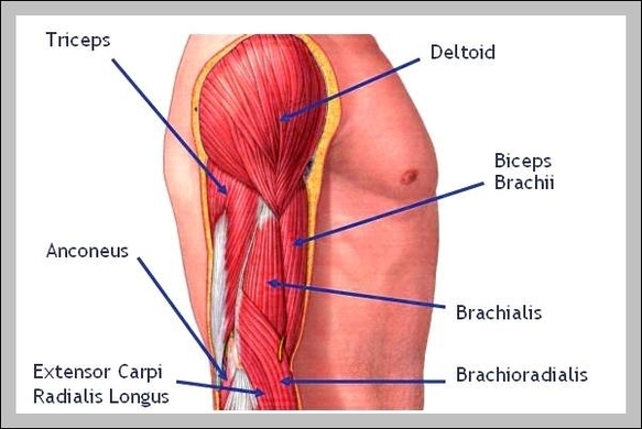 muscles anatomy | Graph Diagram | Page 5