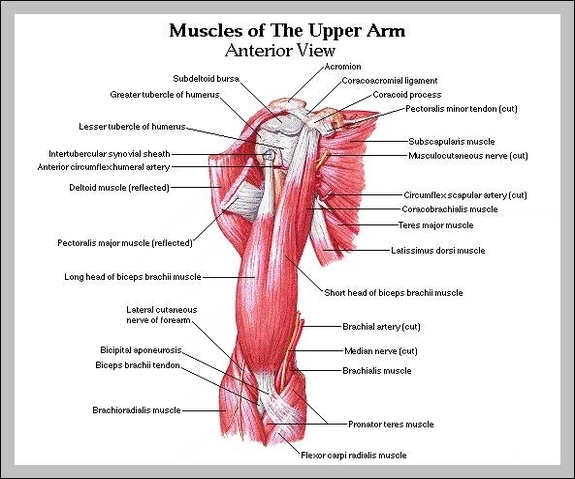 Muscles in upper arm | Graph Diagram