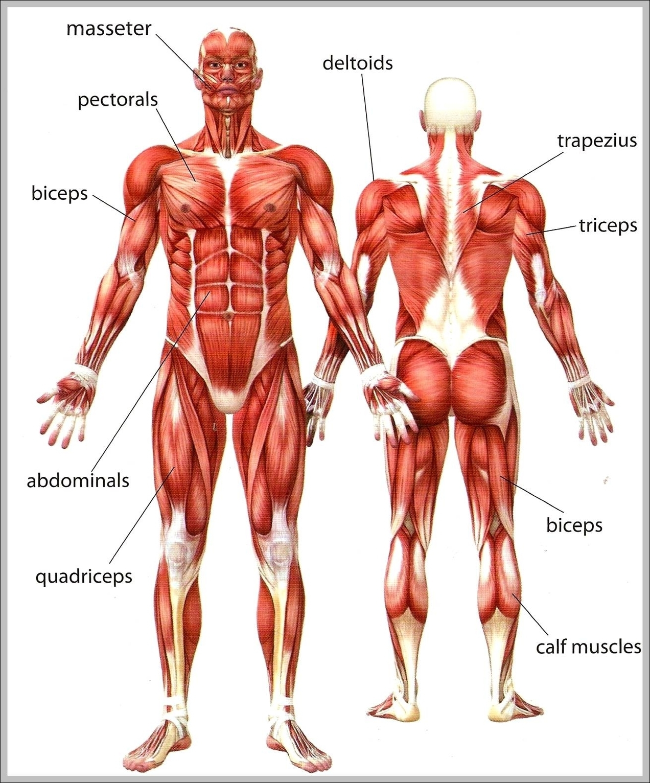 Muscles in your body graph diagram muscles in your body ccuart Image collections