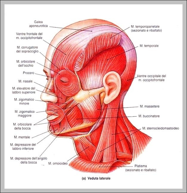Human neck graph diagram muscles of the neck and head diagram chart diagrams and charts with labels this diagram depicts muscles of the neck and head ccuart Gallery