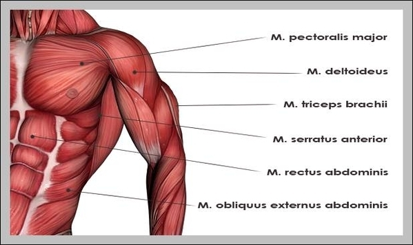 Muscles of the upper body | Graph Diagram
