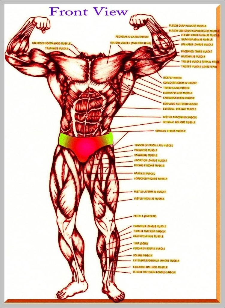 Muscles Anatomy Graph Diagram Page 3