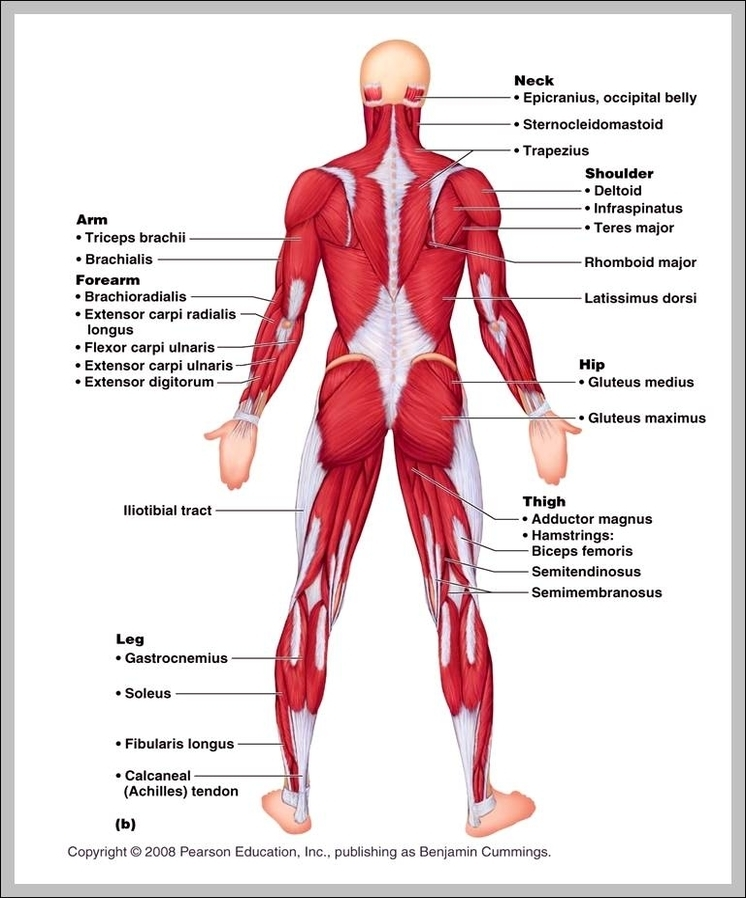 Muscular system labeled | Graph Diagram