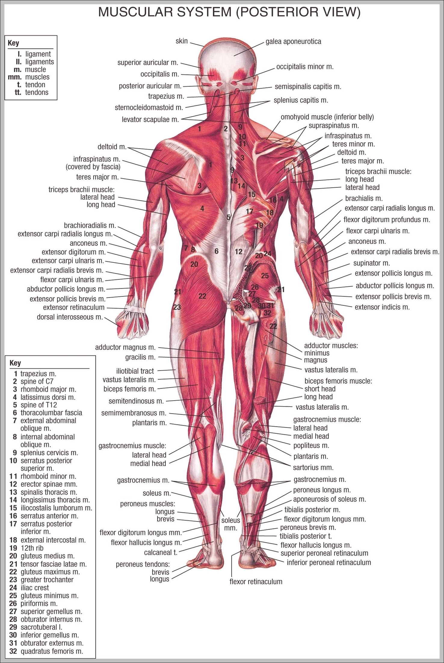muscular system   Graph Diagram   Page 3
