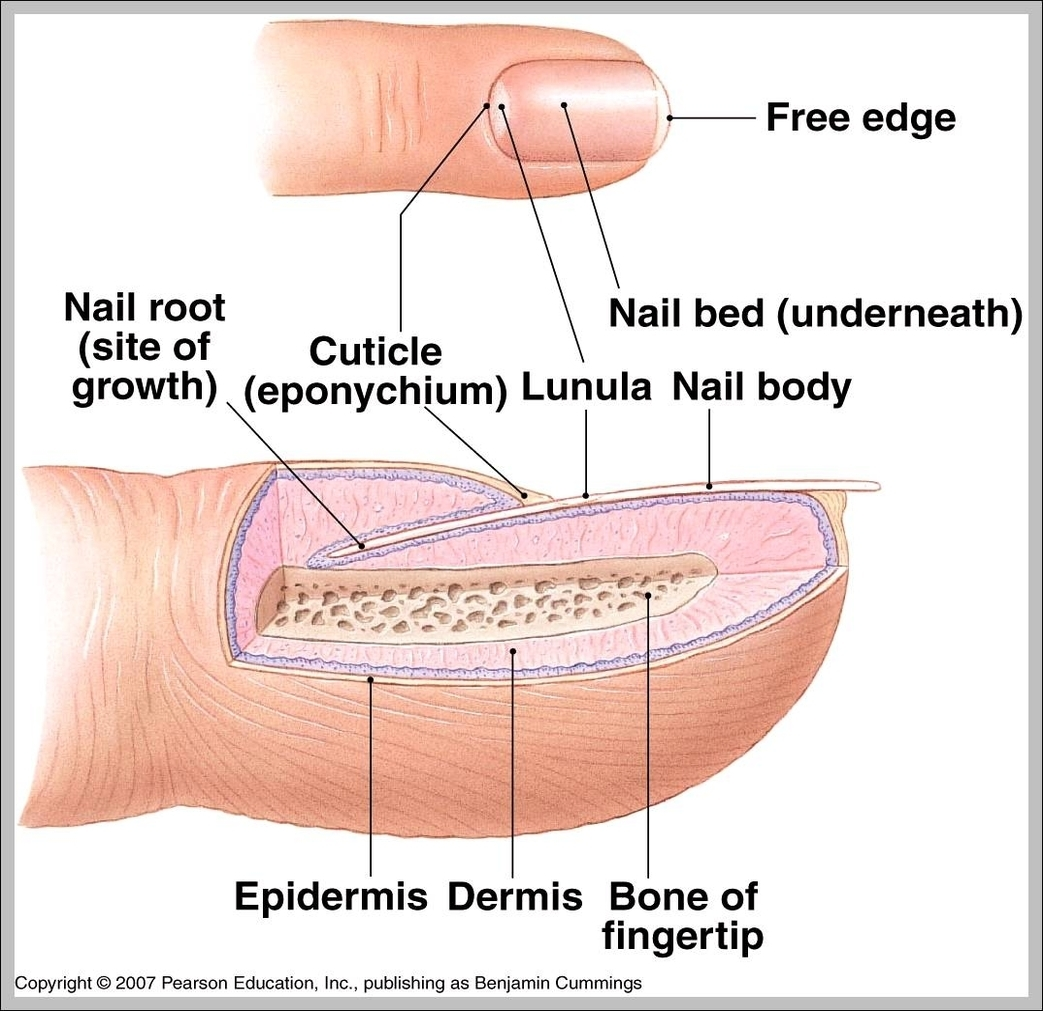 Nail anatomy | Graph Diagram