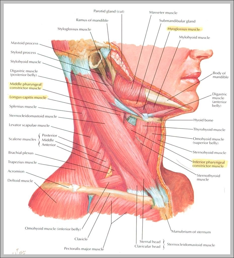 Neck Anatomy Graph Diagram