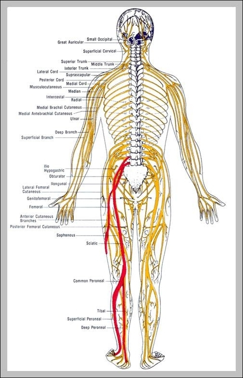 nerve diagram of body nerve diagram of body graph diagram