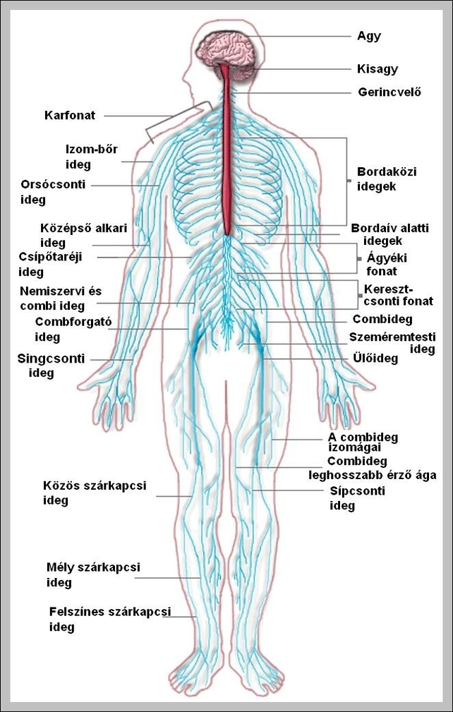 Nervous System Graph Diagram