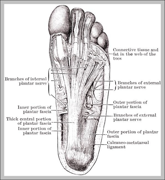Nerves in foot graph diagram nerves in foot ccuart Gallery