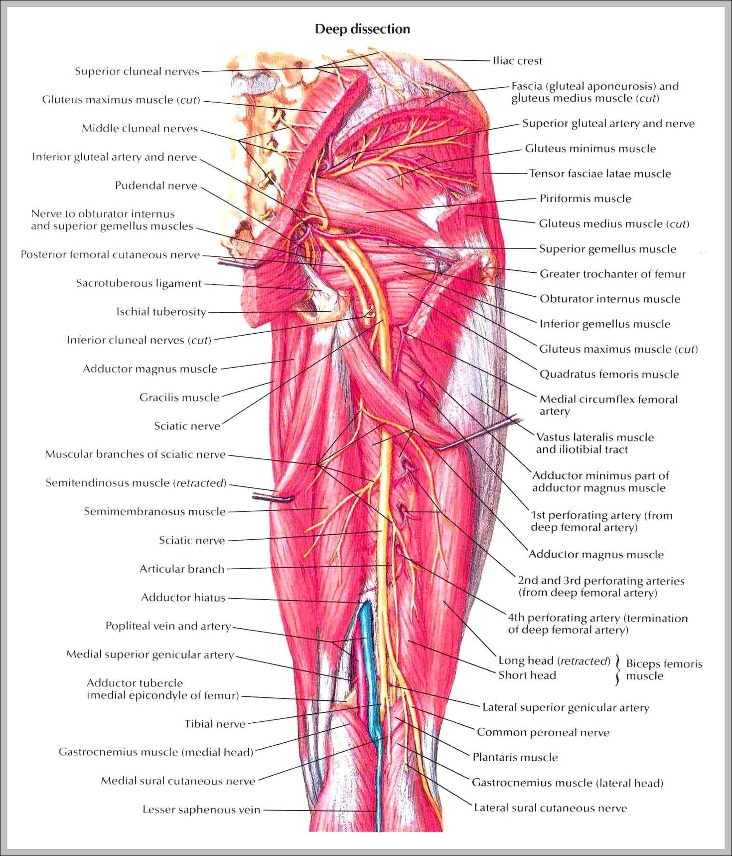 Nerves Of The Thigh Graph Diagram