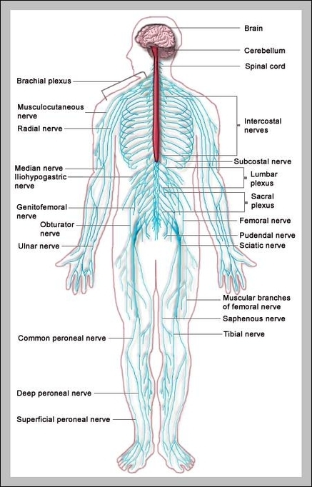 Nervous system graph diagram nerves system diagram chart diagrams and charts with labels this diagram depicts nerves system ccuart Choice Image