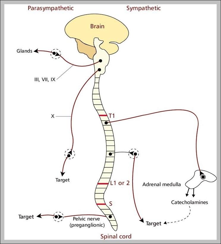 nervous system diagram | Graph Diagram