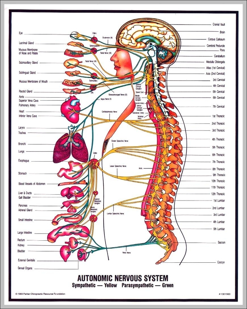 human nervous system | Graph Diagram