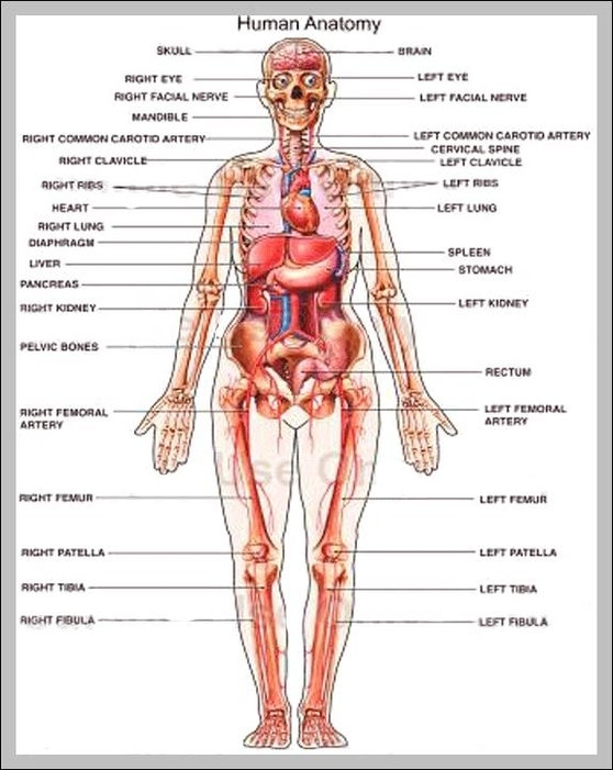 Organ map human body | Graph Diagram