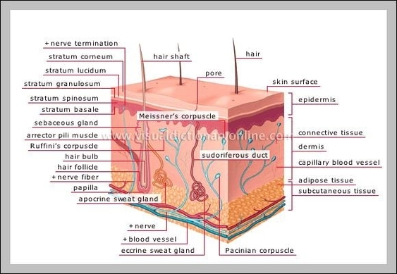 Organs in the integumentary system | Graph Diagram