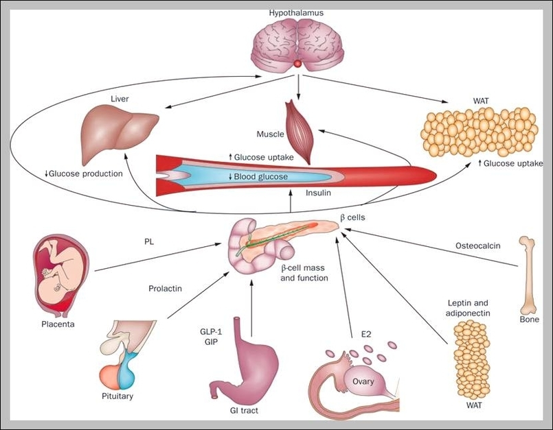 Pancreas Function And Location Pancreas Functions