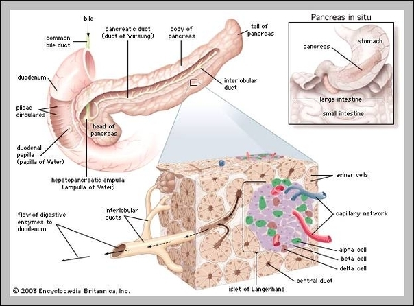 Pancreas graph diagram pancreas system diagram chart diagrams and charts with labels this diagram depicts pancreas system ccuart Gallery