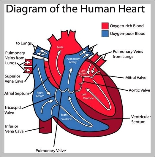Heart Graph Diagram