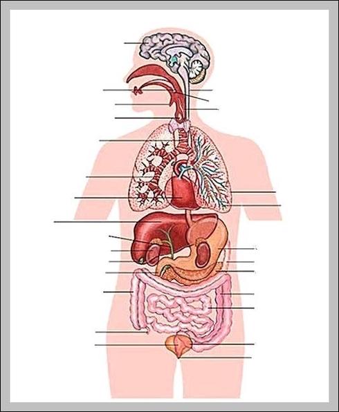 Parts of internal human body | Graph Diagram