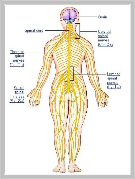 Nervous system graph diagram peripheral nervous system pictures diagram chart diagrams and charts with labels this diagram depicts peripheral nervous system pictures ccuart Choice Image