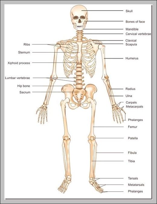 Skeletal Images Graph Diagram