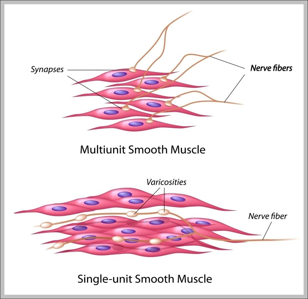 picture of a muscle cell  Labeled Smooth Muscle Cell Diagram