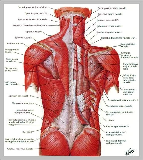 muscular system | Graph Diagram | Page 3
