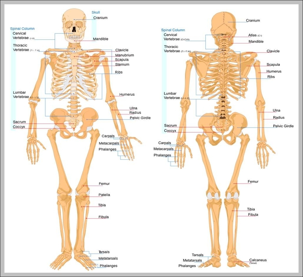 Diagram Human Body Bones Block And Schematic Diagrams