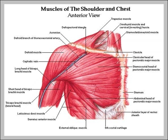 picture of chest muscles
