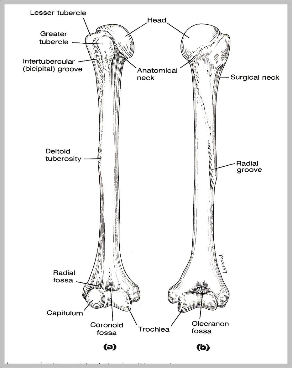 picture of humerus | graph diagram