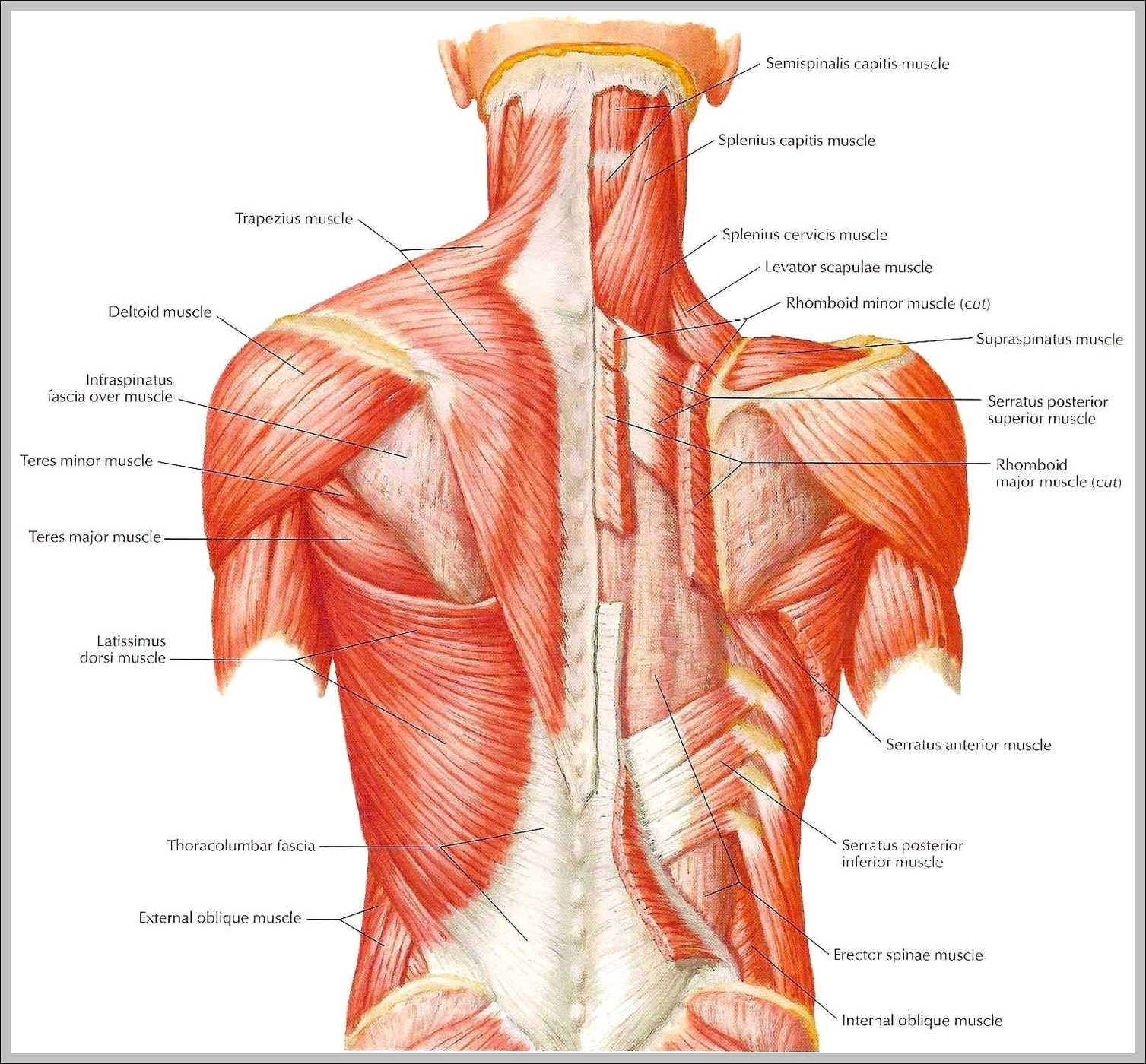 Picture Of Muscles In Back Graph Diagram