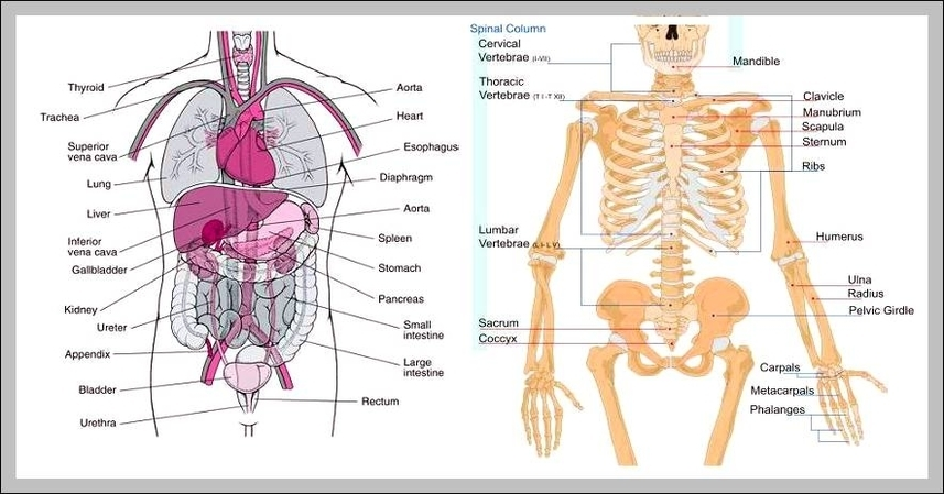 Human Body Anatomy Graph Diagram Page 3