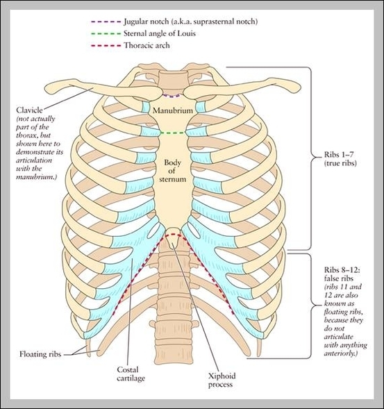 Picture Of The Human Rib Cage Graph Diagram