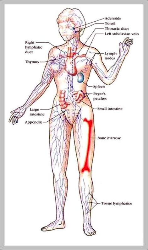 Anatomy system graph diagram picture of the lymphatic system diagram chart diagrams and charts with labels this diagram depicts picture of the lymphatic system ccuart Images