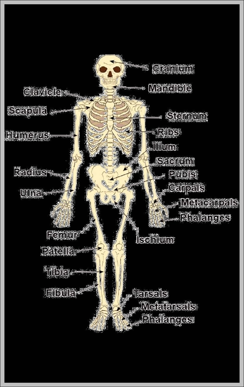 Human Bones Graph Diagram
