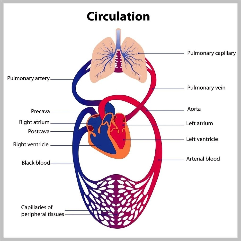 Body system diagram graph diagram pictures of circulatory system diagram chart diagrams and charts with labels this diagram depicts pictures of circulatory system ccuart Gallery