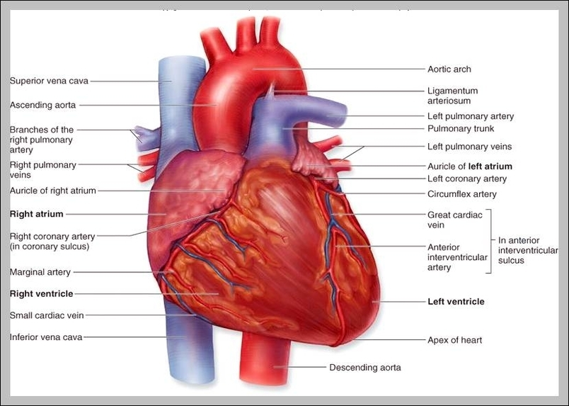 Pictures of the heart with labels graph diagram pictures of the heart with labels ccuart