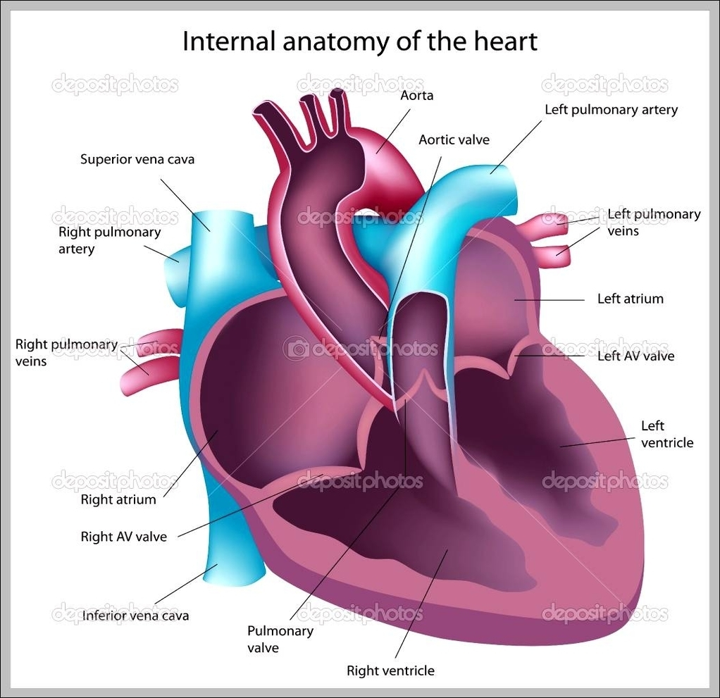 Human Heart Anatomy Graph Diagram
