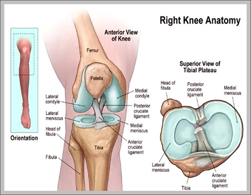 pictures of the knee anatomy