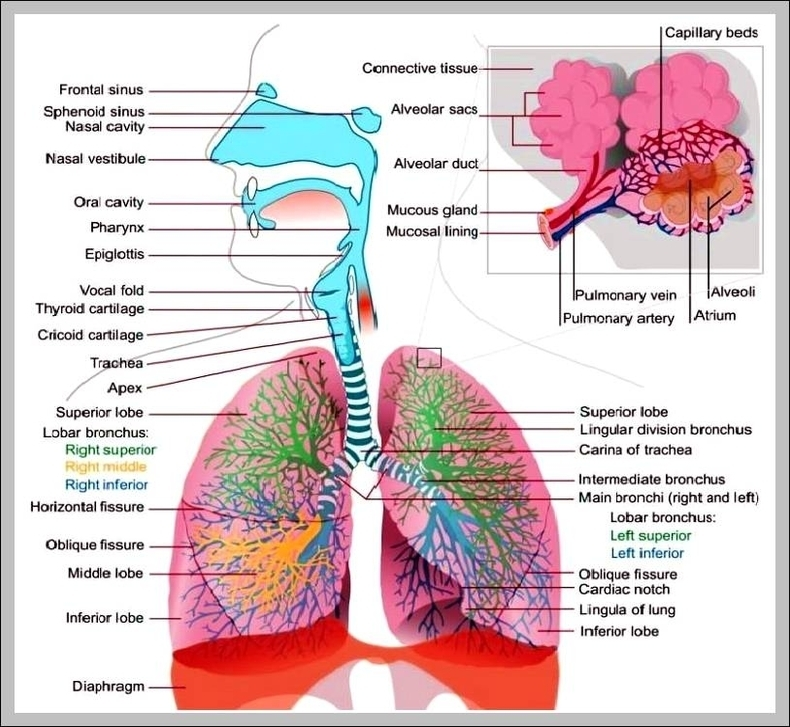Respiratory System Picture Graph Diagram
