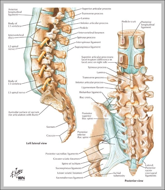 Sacrum Spine Diagram - Wiring Diagram •
