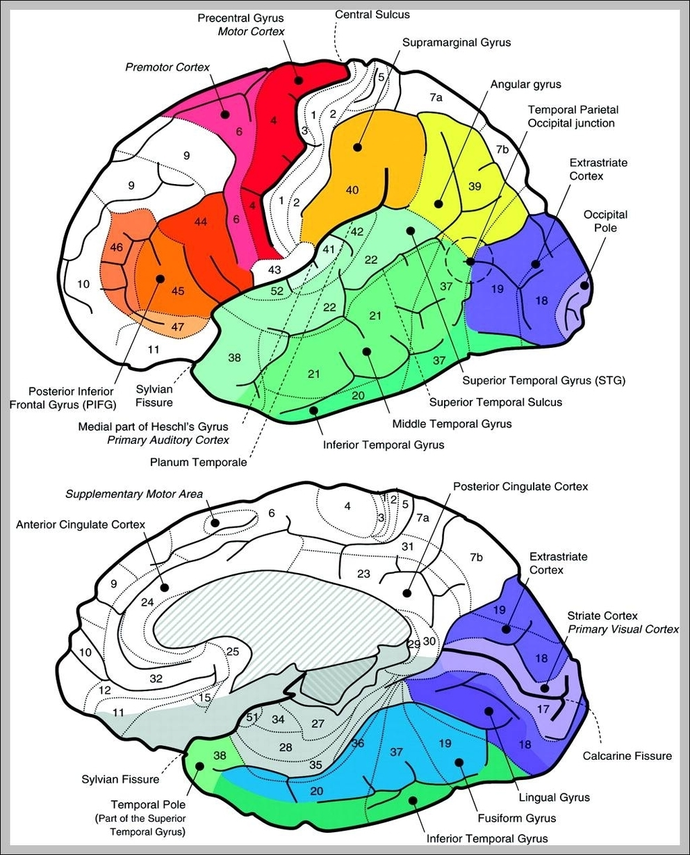 Sagittal view of the human brain | Graph Diagram
