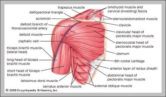 human muscle diagram | Graph Diagram